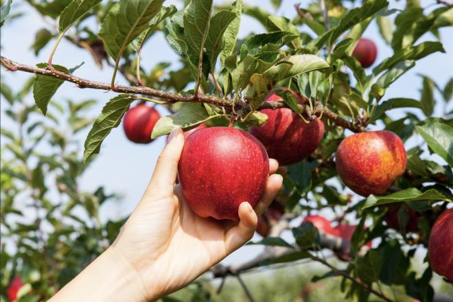 picking an Apple Tree